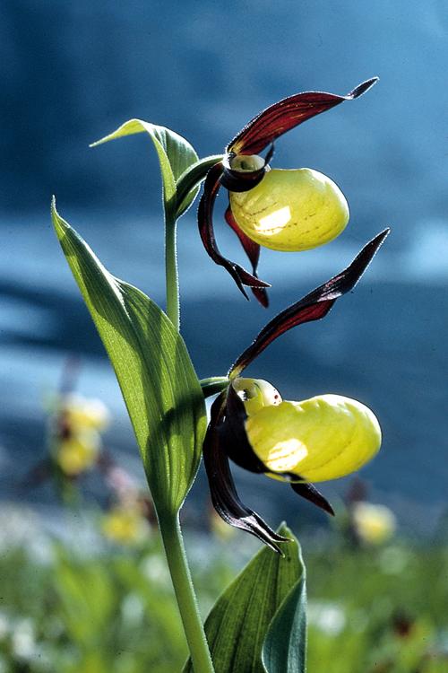 orchideen natur erleben beobachten verstehen. Black Bedroom Furniture Sets. Home Design Ideas